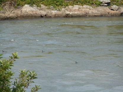 Saint John - Reversing Falls (8)
