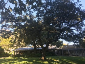 Alamo - Live Oak in Mission
