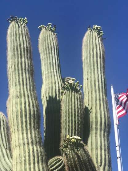 Saguaro in Bloom CloseUp