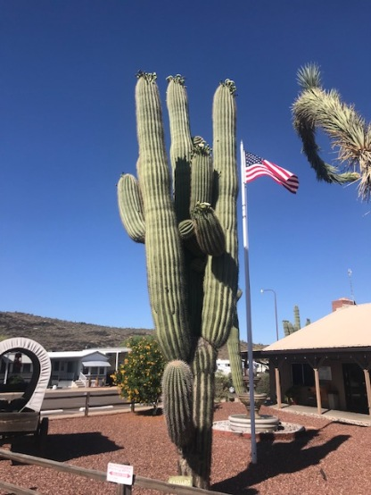 Saguaro in Bloom - Memorial Day